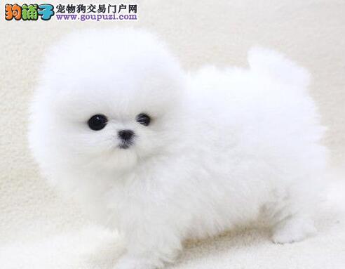 繁育基地直销纯种博美犬南京地区购犬可优惠