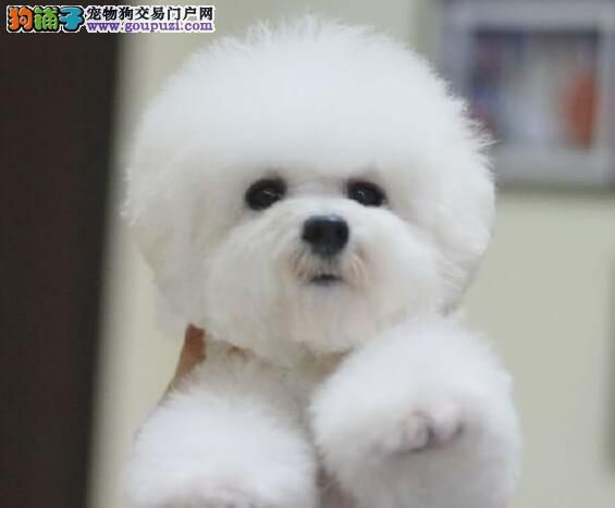 萌萌哒佛山比熊犬低价出售 大眼睛甜美可爱