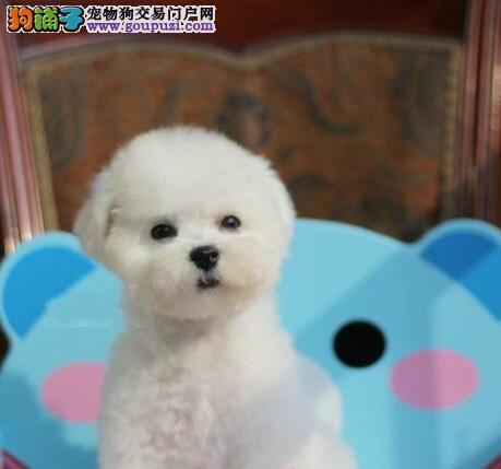 武汉出售纯种比熊犬 签订公司协议 保证纯种健康