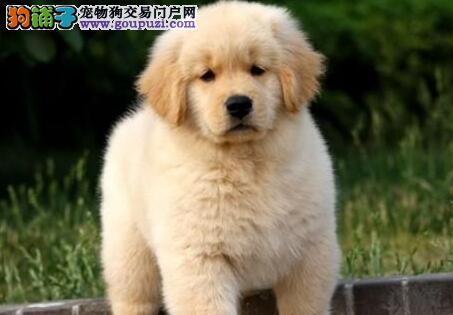 大块头,黄金巡回犬让你有焕然一新的体验