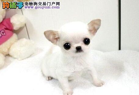 正规犬舍高品质吉娃娃带证书提供护养指导