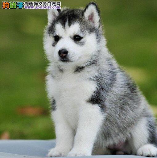重庆犬舍出售精品纯种哈士奇 保健康签订活体