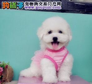热销极品可爱卷毛济南比熊犬 保品质保证健康售后好