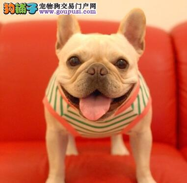 甘南州专业的法国斗牛犬犬舍终身保健康微信咨询视频看狗