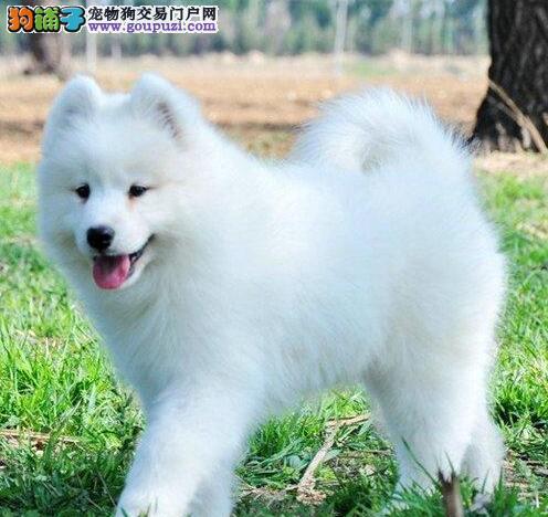 出售可爱的萨摩幼犬,北京上门选狗