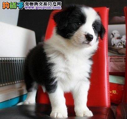 促销优秀边境牧羊犬 宁波市内可送狗上门欢迎前来选购