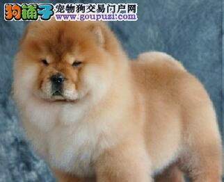 松狮CKU认证犬舍自繁自销保终身送用品