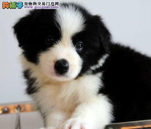 家养顶级品质边境牧羊犬转让 重庆市内可上门看狗