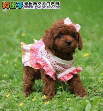 出售正宗血统优秀的汉中泰迪犬喜欢加微信可签署协议