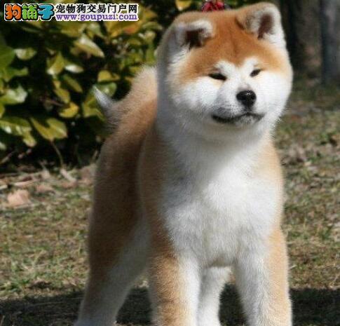 苏州哪里有卖纯种秋田犬?苏州哪里的秋田最健康便宜?