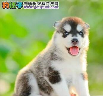 上海狗舍出售双血统的哈士奇三把火蓝眼睛