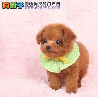 实体店直销名贵血统上海泰迪犬多个颜色可见父母
