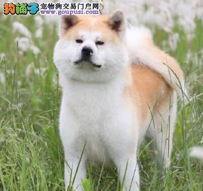 东莞犬舍出售日系纯血统秋田犬 欢迎前来选购参观