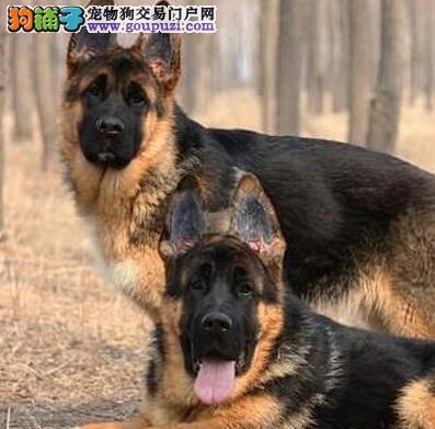 专业正规犬舍热卖优秀汉中德国牧羊犬三针疫苗齐全