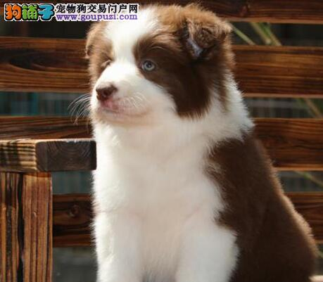 狗场出售极品边境牧羊犬上海地区可上门看狗