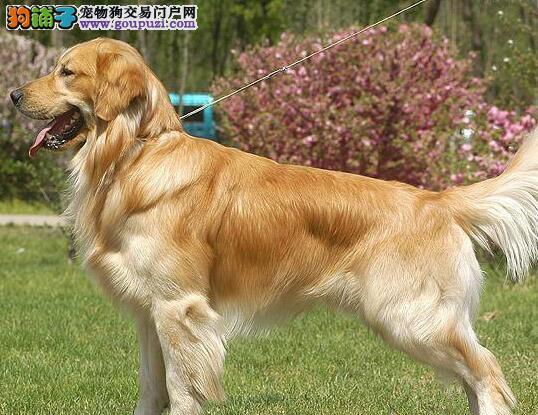 养殖场转让高品质金毛犬哈尔滨市内购买可送货