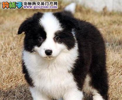 犬舍直销血统纯正哈尔滨边境牧羊犬售后保障全面