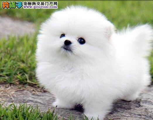 热销多只优秀的纯种北京博美犬包养活送用品