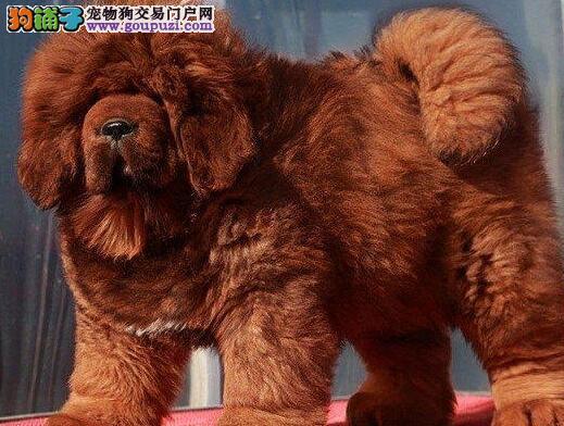大型獒园热卖品质好的藏獒哈尔滨地区可上门看狗