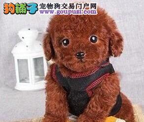 实体店转让纯种泰迪犬哈尔滨周边地区购犬可优惠