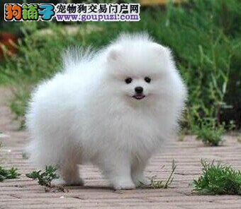 自家狗场出售品相好的哈尔滨博美犬购买可送用品