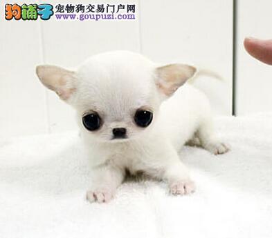 出售纯种墨西哥血统吉娃娃 欢迎来深圳狗场实地考察