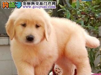 极品大骨架深圳金毛犬特价出售中 价格可当面商议