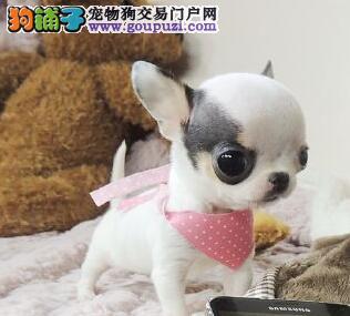 石家庄专业的吉娃娃犬舍终身保健康品质血统售后均有保障