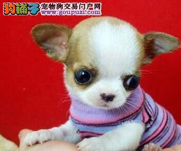 苹果头,墨西哥吉娃娃犬,颜色齐全,保健康,多只挑选