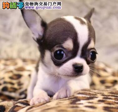 转让纯种苹果头吉娃娃 欢迎来杭州狗场实地考察