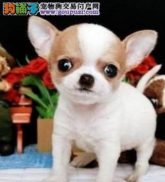 乌鲁木齐专业狗场热卖纯种吉娃娃金鱼眼超可爱