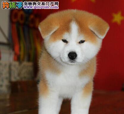 特价出售赛级品质珠海秋田犬毛色亮丽品相好