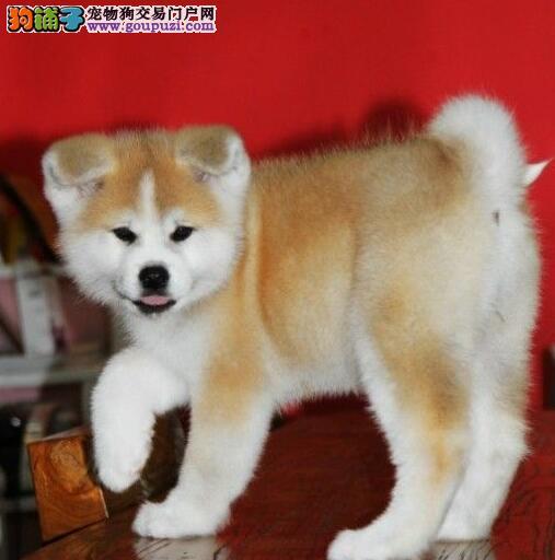 出售秋田犬幼犬品质好有保障质保协议疫苗驱虫齐全