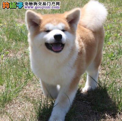 忠诚的狗狗 美系日系秋田狗狗哪里有卖 秋田多少钱