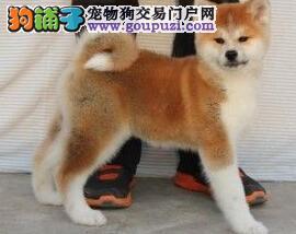 血统正宗郑州秋田犬低价出售 尊贵品质高端伴侣犬