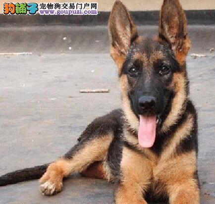 热销德国牧羊犬幼犬 国际血统品相好 可签保障协议