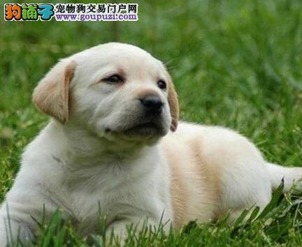 郑州实体店低价促销赛级拉布拉多幼犬可直接微信视频挑选