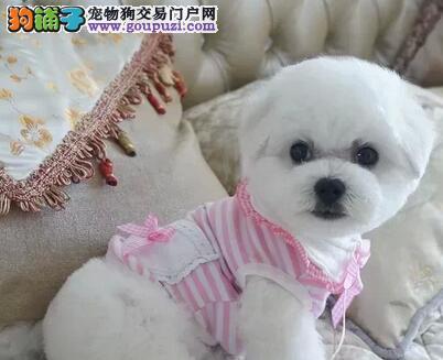家养法国卷毛比熊宝宝火爆出售。。