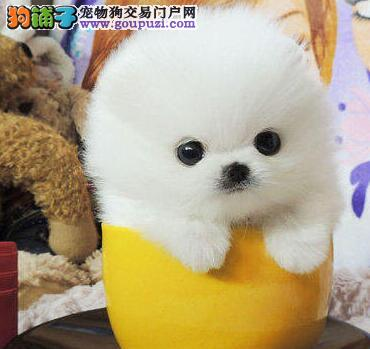 实物拍摄的北京博美犬找新主人签订终身纯种健康协议