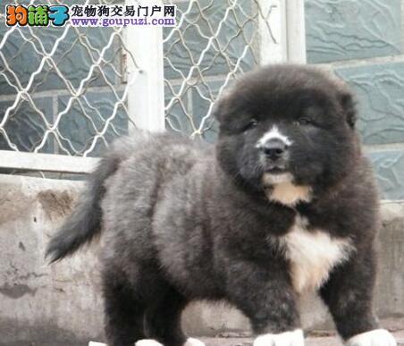 国际注册犬舍 出售极品赛级高加索幼犬品质血统售后均有保障