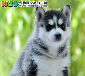 丹东出售极品哈士奇幼犬完美品相专业品质一流