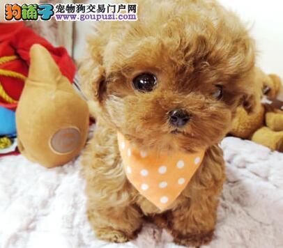 苏州狗场直销好品相的泰迪犬颜色多只可上门看狗