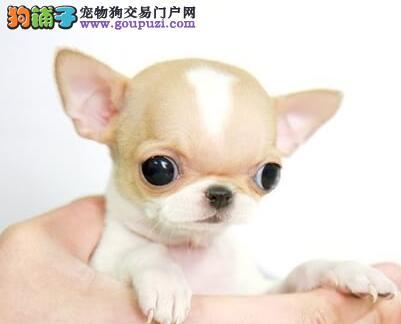 韩国引进高品质超小体纯种苹果头茶杯吉娃娃幼犬