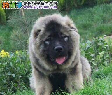 出售赛级高加索幼犬 健康质保多只可选
