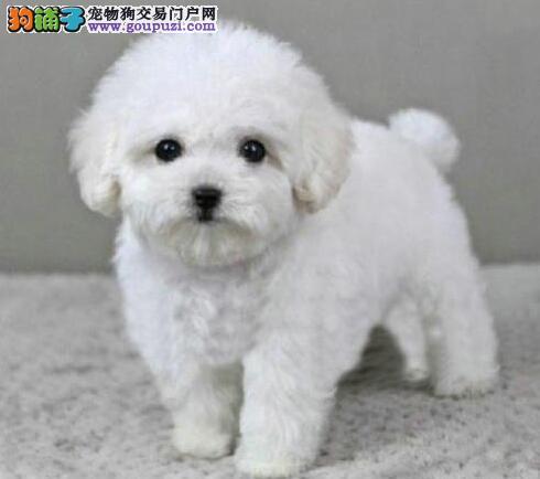 转让极品韩国血统乌鲁木齐泰迪犬 可办理血统证书