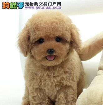 出售多种颜色多种血统的南京泰迪犬 保证品质完美售后