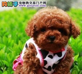 纯种贵宾宝宝 贵宾幼犬 苏州狗场低价出售