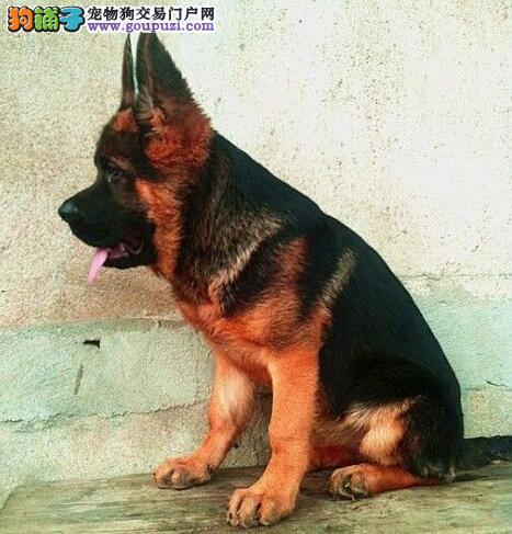 专业正规犬舍热卖优秀喀什德国牧羊犬微信咨询看狗狗照片