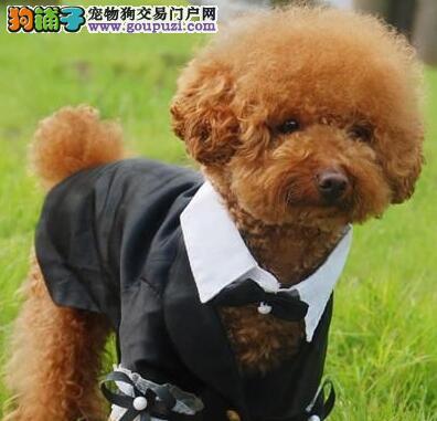苏州专业犬舍热销韩系贵宾犬 有血统证书品质绝对优秀