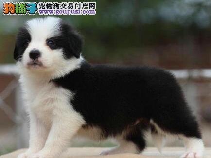 直销纯种健康广州边境牧羊犬 颜色犬公母都有